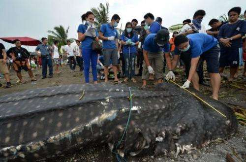 Vets measure the carcass of a 300-kg juvenile whale shark that washed ashore west of Manila on September 5, 2013