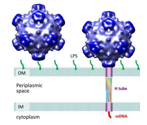 Virus grows tube to insert DNA during infection then sheds it