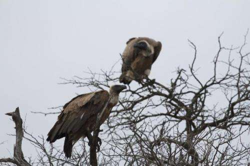 Vultures foraging far and wide face a poisonous future