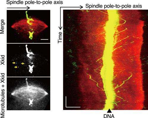 "Waseda University team observes ""molecular motors"" involved in chromosome transport"