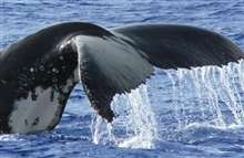 Whale detection: New innovative use of SSC's Maritime Surveillance System