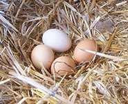 What are the risks when hens lay their eggs on the floor?
