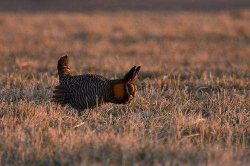 Wind power does not strongly affect greater prairie chickens, 7-year study finds