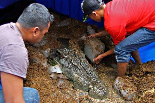"""Workers put ice blocks around the remains of the saltwater crocodile """"Lolong"""", on February 11, 2013, in the Philippines"""