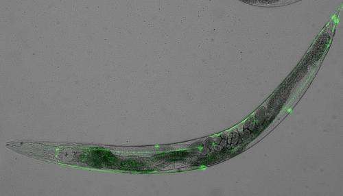 Worms reveal link between dementia gene and ageing