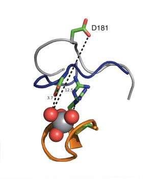 WPD Loops of PTP1B Enzymes