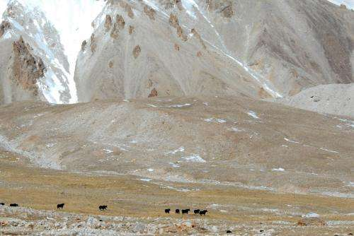 Yaks are back: Conservationists find nearly 1,000 wild yaks in remote Tibetan Plateau