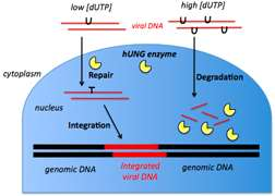 Researchers show how cells' DNA repair machinery can destroy viruses