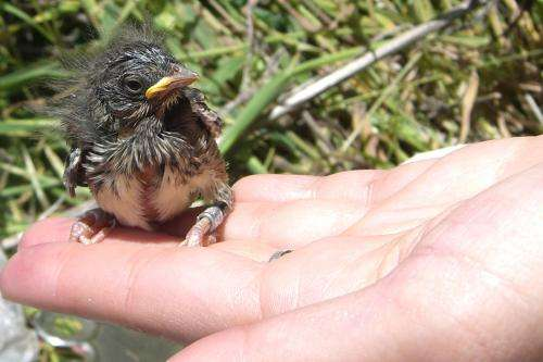 Young or old, song sparrows experience climate change differently from each other