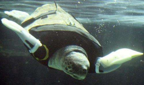 Yu, a female loggerhead turtle, swims using artificial front legs at the Suma Aqualife Park in Kobe on February 12, 2013