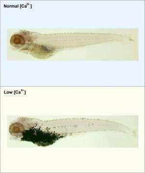 Zebrafish help decode link between calcium deficiency and colon cancer