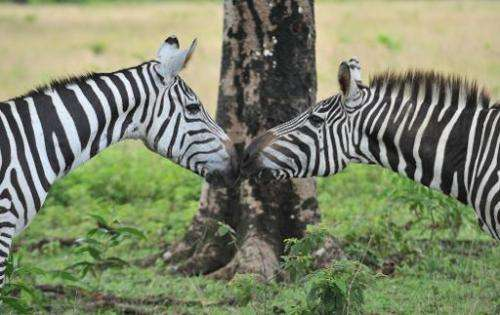 Zebras nuzzle on September 18, 2011 at Calauit Game Preserve and Wildlife Sanctuary in Calauit Island, Busuanga province, wester