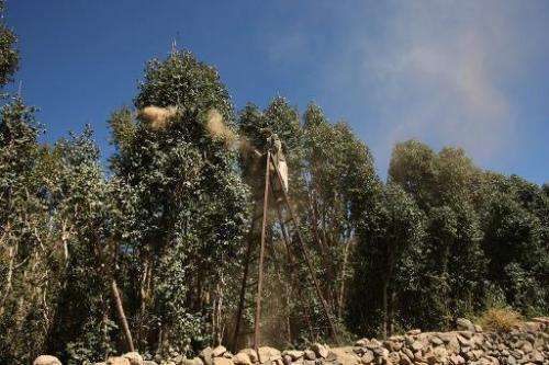 A local farmer sprays sand on qat trees in a field on the outskirts of the Yemeni capital Sanaa, on January 2, 2012, using a tra
