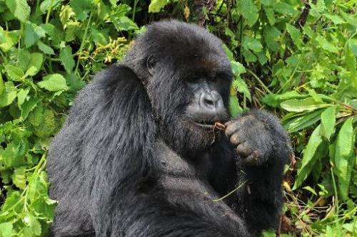 A mountain gorilla in a thicket at the Volcanoes National Park in northern Rwanda on September 3, 2014