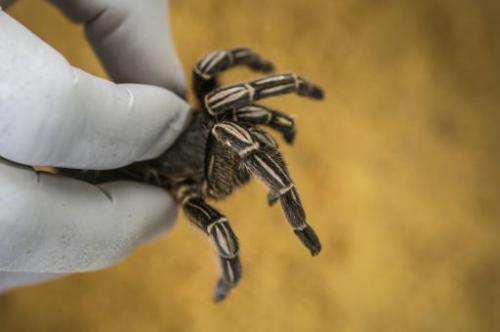 An employee handles a tarantulaat the Exotic Fauna Store in Managua, Nicaragua, on November 24, 2014