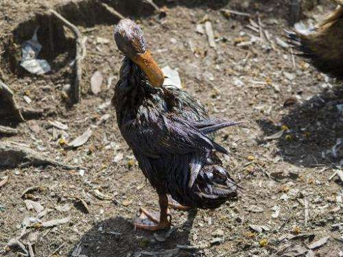 An oil-soaked duck attempts to preen itself in Mongla on December 13, 2014, after an oil-tanker carrying 350,000 litres of furna