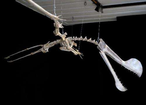 """A replica of the fossil of a Pterosaur of the """"Tropeognathus Mesembrinus"""" species is displayed at the National Museum"""