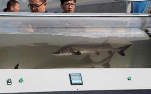 Artificially bred Chinese sturgeons pictured in a tank before they are release into the Yangtze river in China's Hubei province