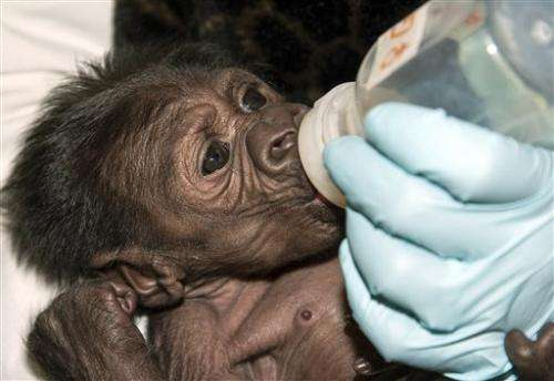 Baby gorilla with mom at San Diego Zoo