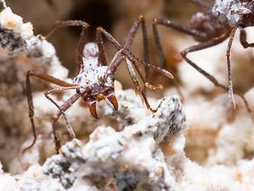 Bacteria that assist fungus-farming ants may be a source of new drugs