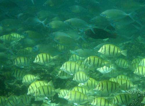Beautiful but a threat: Tropical fish invasion destroys kelp forests