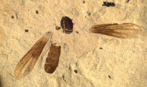 Big-eyed fossil flies track major ecological revolution