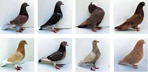 Birds of a different color: Three major genes set feather hue in pigeons