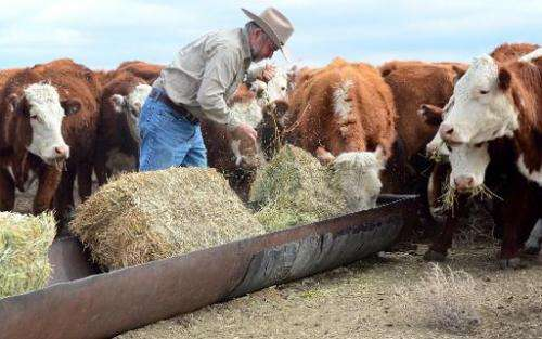 California rancher Nathan Carver drops off bails of hay to feed his herd of beef cattle at the ranch his family has owned for fi