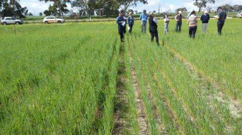 Cropping research takes advantage of divergent growth patterns