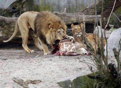Danish zoo kills giraffe to prevent inbreeding