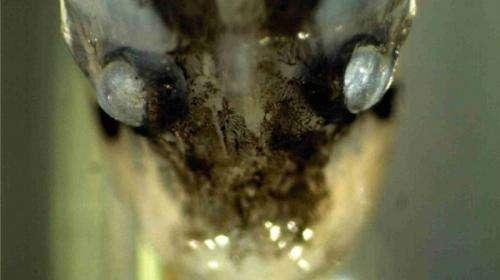 Deep sea fish eyesight similar to human vision