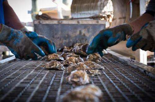 Employees of the Hollywood Oyster company sort fresh oysters on a conveyor belt at the company farm in the waters of Chesapeake