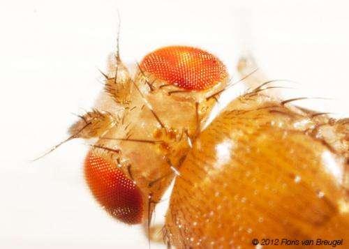 Fruit flies -- fermented-fruit connoisseurs -- are relentless party crashers
