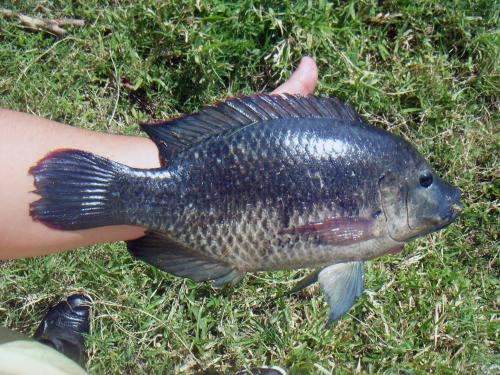 Fulminating parasites that affect the production of tilapia