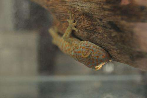 Geckos are sticky without effort