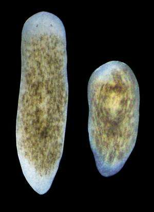 Gene discovered that activates stem cells for organ regeneration in Planarians
