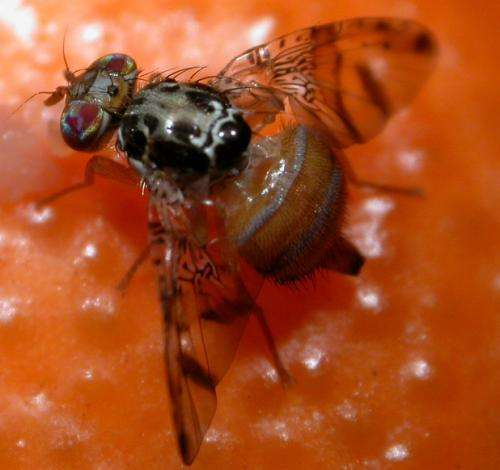Genetically engineered fruit flies could save crops