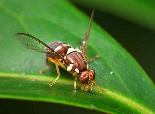 Handout photo obtained from CSIRO on March 21, 2014 shows a Queensland fruit fly on a leaf in Brisbane, Australia