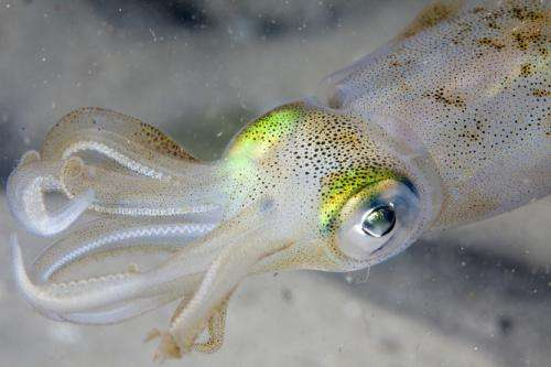 Humans and squids evolved the same eyes using the same genes