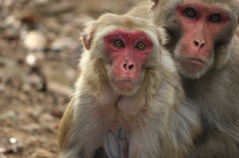 Skin Coloring Of Rhesus Macaque Monkeys Linked To Breeding Success New Study Shows