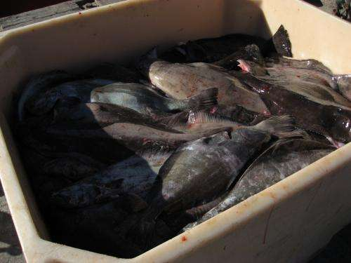 Impact of deep-sea fishery for Greenland halibut