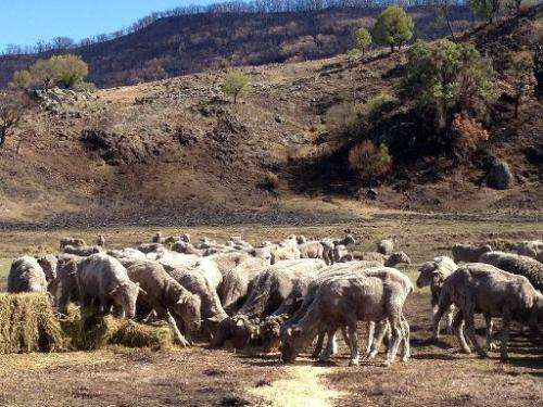 In this undated photo, sheep are seen grazing in the bushfire-scarred mountainous terrain near the town of Coonabarabran in sout
