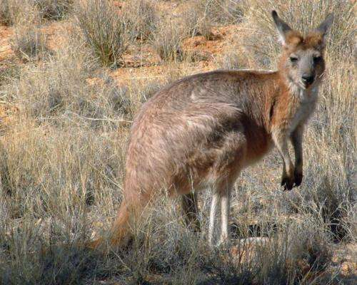 Kangaroos win when Aborigines hunt with fire