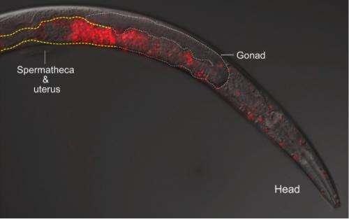 'Killer sperm' prevents mating between worm species