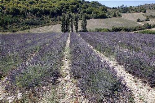 Lavender farmers rebel against EU chemical rules