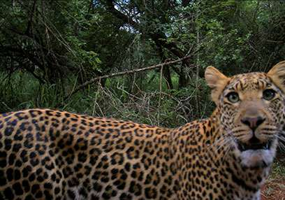 Leopards persist in mountain range despite persecution