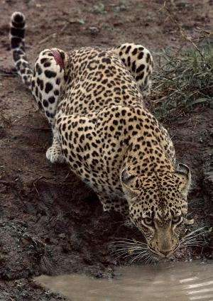 Loss of large carnivores poses global conservation problem