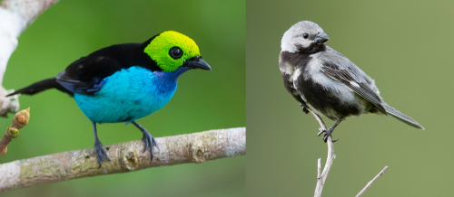 Maybe birds can have it all: Dazzling colors and pretty songs