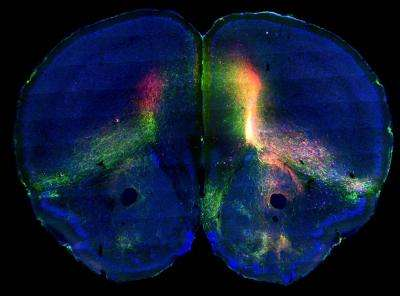 Mouse brain atlas maps neural networks to reveal how brain regions interact