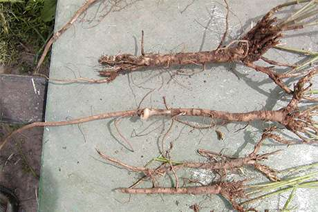 New alfalfa variety resists ravenous local pest